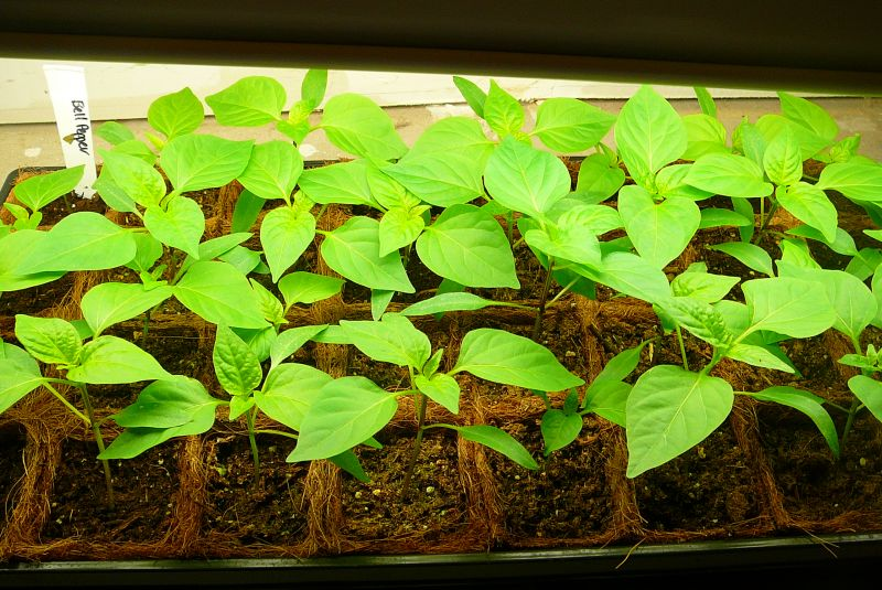how to start green pepper seeds indoors