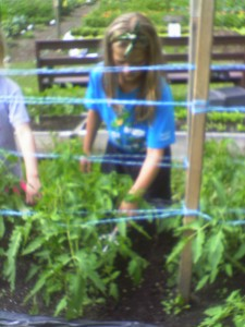 Assisting the tomatoes by adding organic fertilizer
